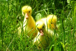 cute gosling in green grass